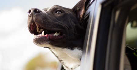 Driving Safety for Dogs and You